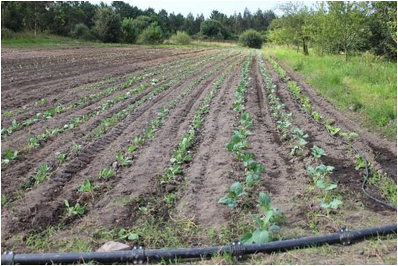 cultivo de coles