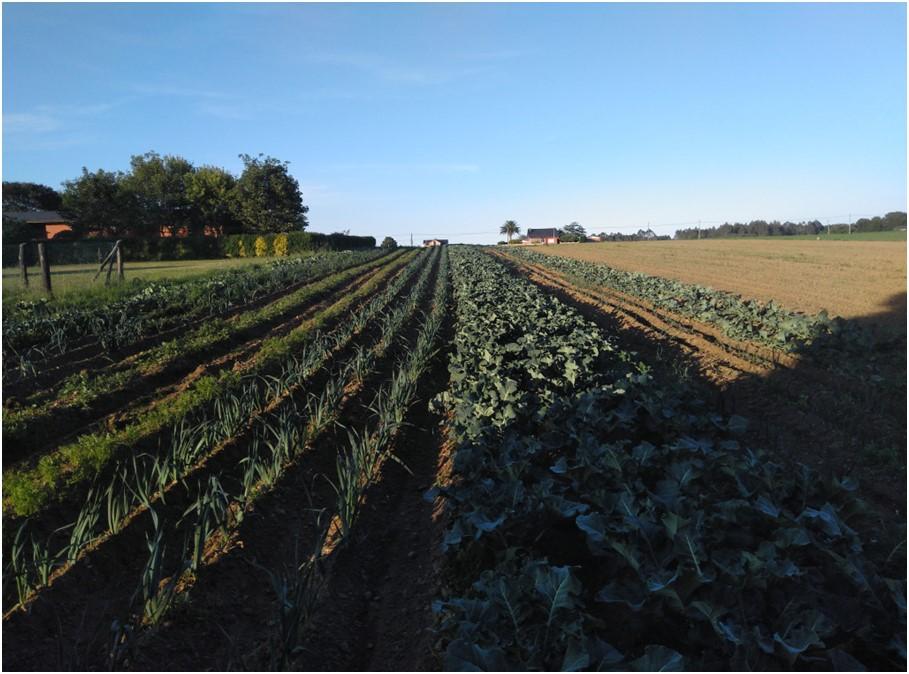 plantacion de coles y puerros