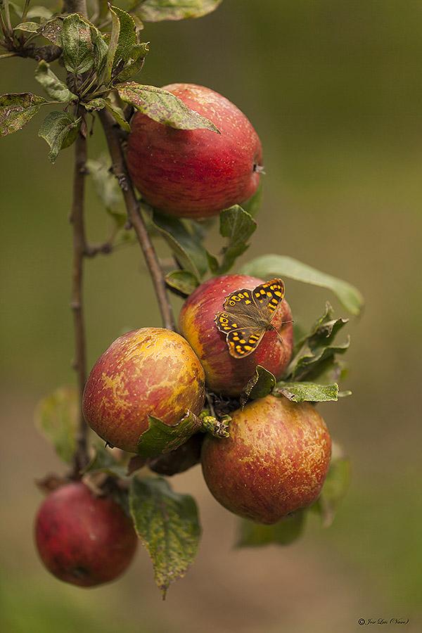 mariposa en manzanas