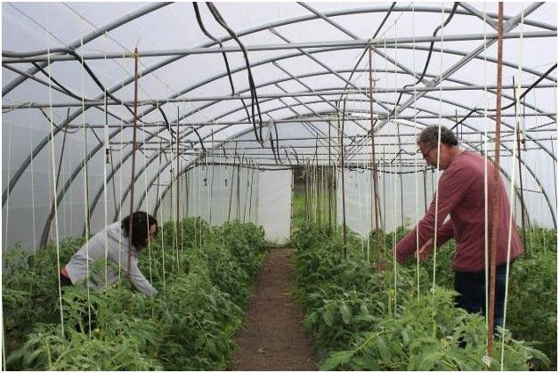 podando tomateras